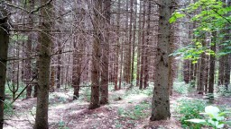 В еловом лесу