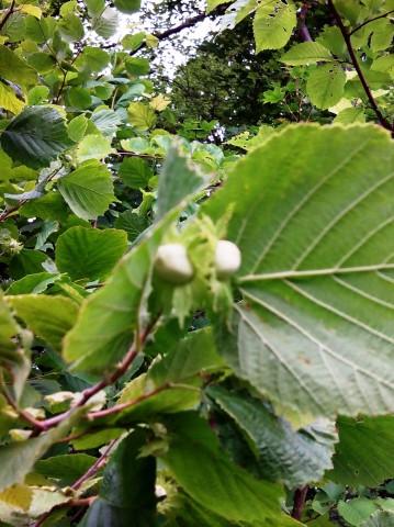 Нашли лещину. Осенью за орехами рейд.